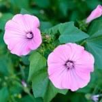 Garden bindweed — Stock Photo #53405115