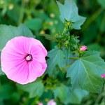 Garden bindweed — Stock Photo #53405125
