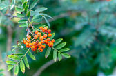 Bunch of Fresh Rowan berries. Rowan berry includes several vitam — Stock Photo