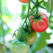 Green and red tomatoes ripen on branch  — Stock Photo