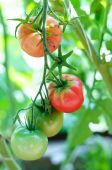 Green and red tomatoes natural  ripen on branch  — Stock Photo