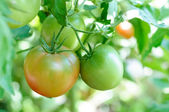 Ripen tomatoes natura on a branch — Stock Photo