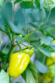 Green pepper on branch  — Stock Photo
