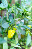Green pepper on branch  — Stockfoto