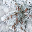 Winter background. A coniferous tree in hoarfrost and snow — Stock Photo #57292467
