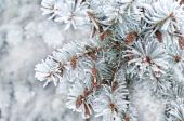 Winter background. A coniferous tree in hoarfrost and snow  — ストック写真