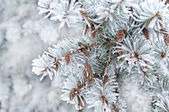 Winter background. A coniferous tree in hoarfrost and snow  — Photo