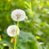 Dandelion (Taraxacum) on field close-up — Stock Photo