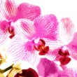 Beauty spring backgrounds with pink orchid, fine art simulation — Stock Photo #71979641