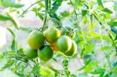 Green tomatoes on tomato plant — Stock Photo