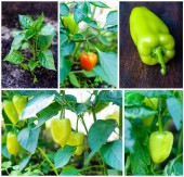 Set of growing and ripening sweet peppers — Stock Photo
