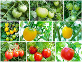 Set of Tomatoes growing (green, yellow, red) — Stock Photo