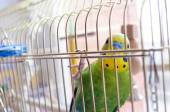 Green Budgerigar (domestic budgie) on cage — Stock Photo