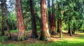 Eeuw bomen — Stockfoto