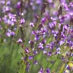 Beautiful purple wild flowers — Stock Photo #64813323