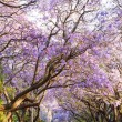 Blooming jacaranda trees lining the street in South Africa's cap — Stock Photo #58391323