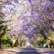 Jacaranda tree-lined street in South Africa's capital city — Stock Photo #58391471