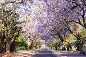 Jacaranda tree-lined street in South Africa's capital city — Stock Photo