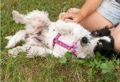 Little shaggy dog lies in grass near human knee — Stock Photo