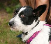 Little shaggy dog sitting in grass near human knee — Stock Photo