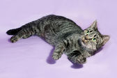 Tabby cat with green eyes lying on purple  — Photo