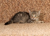 Striped kitten lying on  couch — Stock Photo