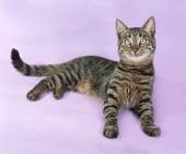 Tabby cat with green eyes lying on purple  — Stock Photo