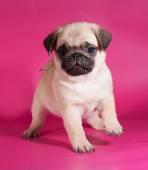 ピンクの上に座って少し黄色パグ子犬 — ストック写真