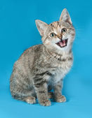 Striped kitten sitting on blue and meows — Stock Photo