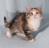 Tricolor fluffy kitten standing on blue — Stock Photo