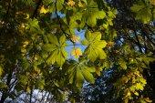 Hojas de otoño castaño — Foto de Stock