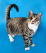 Tabby cat with yellow eyes standing on blue  — Stock Photo