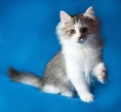 Fluffy little white kitten with spots sitting on blue  — Stock Photo