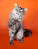 Gray fluffy cat Maine Coon sitting on orange  — Stock Photo