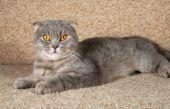 Scottish fold gray cat lying on couch — Stock Photo