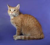 Ginger tabby cat sitting on blue — Stock Photo