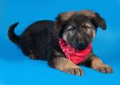 Black and red shaggy puppy in red bandanna lies on blue  — Stock Photo