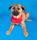 Thin yellow puppy in red bandanna lying on blue — Stock Photo