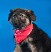 Black and red shaggy puppy in red bandanna on blue — Stock Photo