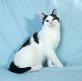 White with black spots kitten sitting on blue  — Stock Photo