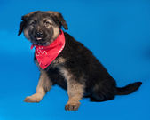 Black and red shaggy puppy in red bandanna sitting on blue  — Stock Photo