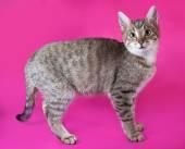 Striped kitten standing on pink  — Stock Photo