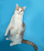 Ginger and white cat sitting on blue  — Stock Photo