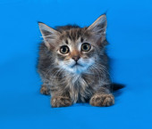 Striped and white fluffy kitten lying on blue  — Stock Photo