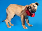Thin yellow puppy in red bandanna standing on blue  — Stock Photo
