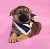 Brown puppy in blue bandanna lying on pink  — Stock Photo