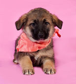 Brown puppy in orange bandanna lying on pink  — Stock Photo