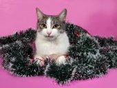 White and gray cat in Christmas decorations lying on pink  — 图库照片