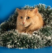 Ginger fluffy cat sitting with Christmas tinsel on blue  — Stock Photo