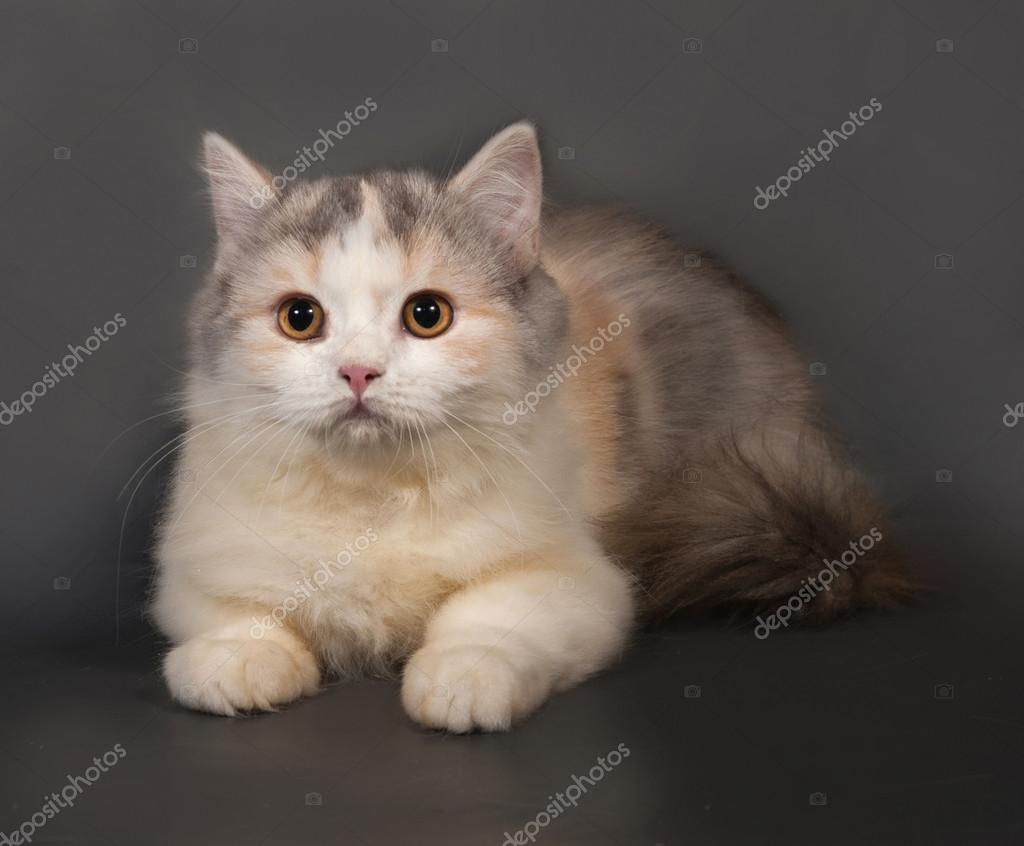 Шотландская вислоухая кошка  трехцветная